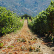 Vineyard in Lumio, Corsica - Stock Photo
