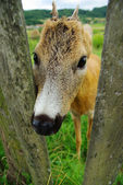 Genç geyik, açık kahverengi, esaret — Stok fotoğraf