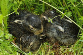 Baby bunnies on green grass — Stock Photo