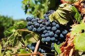 Red Grapes — Zdjęcie stockowe