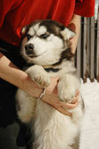 The reliable and loyal Siberian Husky with his owner — Stock Photo