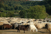 Herd of sheep in Transylvania, Romania — Stock Photo