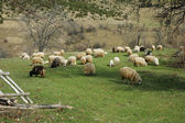 Flock of Sheep in a green meadow — Stock Photo