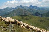 Herd of sheep in Fagaras mountains, Romania — Stock Photo