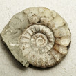 Ammonite — Stock Photo #9140815