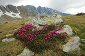 Rhododendron in Retezat National Park, Romania — Stock Photo