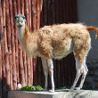 Guanaco eating green leaves — Stock Photo