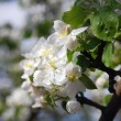 White blossoming apple tree closeup with copyspace — ストック写真