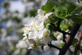 White blossoming apple tree closeup with copyspace — Stock Photo
