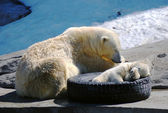 Big and small white polar bears sleeping, winter shot — Stockfoto