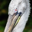Pelican head closeup portrait — Stock Photo