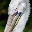 Pelican head closeup portrait — Stock Photo #10619112