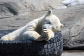 Small white bear sleeping — Stockfoto