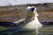 Small white polar bear taking bath — Stockfoto