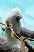 White parrot portrait on blue — Stock Photo