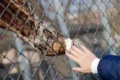 Giraffe eating a cabbage leaf through the fence closeup — Stock Photo