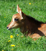 Goat close-up on green grass — Stock Photo