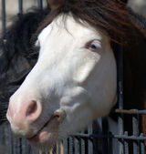 Closeup albino white horse with blue eyes through the fence in zoo — Stock Photo