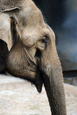Elephant head closeup in the zoo vertical — Стоковое фото