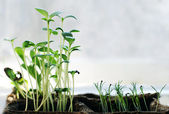 Many newborn small green growing plants of flowers, with a copyspace — Stockfoto