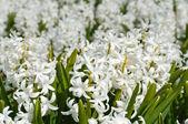 Beautiful white hyacinth flowers — Stock Photo