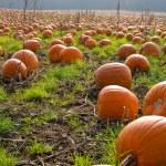 Halloween Pumpkin field background image — Stock Photo