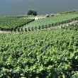 Stock Photo: Vineyards in Mosel Germany