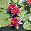 Water lillies in a pool — Stock Photo