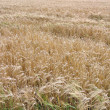 Wheat in the summer before harvest — Stock Photo