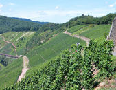 Vineyards fields in the Mosel Germany — Stock Photo