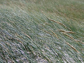 Weather abstract - sea grass in strong wind — Stock Photo