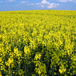 Blooming rape field — Stock Photo