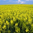 Stock Photo: Blooming rape field