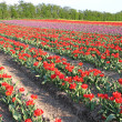 Field of red tulip in the spring — Photo