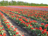 Field of red tulip in the spring — Stock Photo