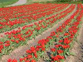 Red tulip field — Stock Photo