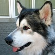 Malamute dog — Stock Photo