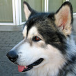 Stock Photo: Malamute dog