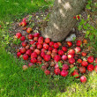 Ripen delicious apples by a tree — Stock Photo