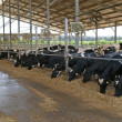 Modern cowshed with cows - Stock Photo