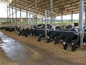 Moderne stal met koeien — Stockfoto