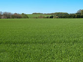 Green grass field with blue sky background — Stock Photo