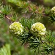 Christmas tree pine cones on branch with leaves — Stock fotografie