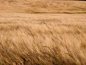 Achtergrond van een veld de tarwe — Stockfoto