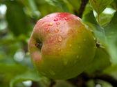 Rosso mela fresca matura su un ramo — Foto Stock