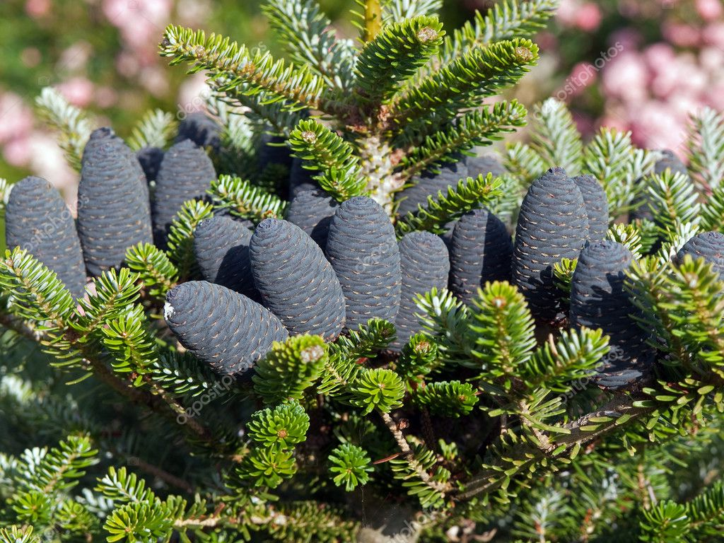 Christmas tree pine cones on branch with leaves holiday background — Photo #8989694
