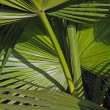 Leaves of palm fronds tree background — Photo