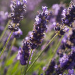 Lavender flowers in France — Stock Photo