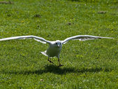 Spread your wings Seagull landing on grass — Stock Photo