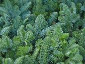 Christmas pine fir tree branches — Stock Photo